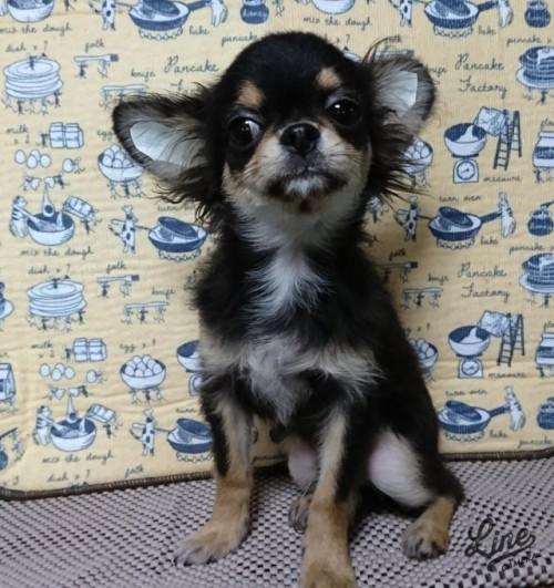 チワワ(ロング)の子犬(ID:1238011099)の1枚目の写真/更新日:2017-11-16