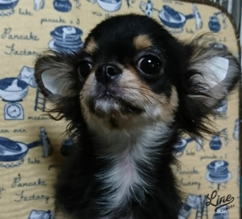 チワワ(ロング)の子犬(ID:1238011099)の2枚目の写真/更新日:2017-11-16