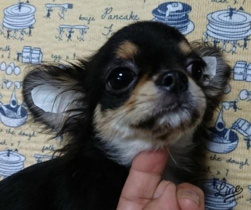 チワワ(ロング)の子犬(ID:1238011099)の3枚目の写真/更新日:2017-11-16