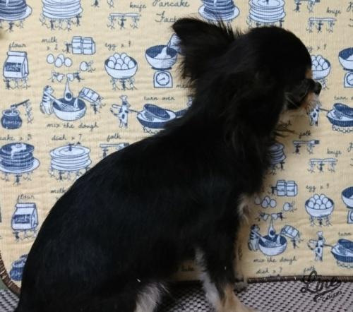 チワワ(ロング)の子犬(ID:1238011099)の4枚目の写真/更新日:2017-11-16