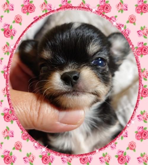 チワワ(ロング)の子犬(ID:1238011103)の2枚目の写真/更新日:2017-12-14