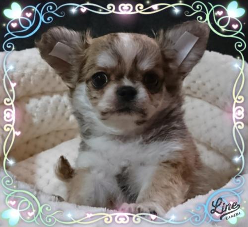 チワワ(ロング)の子犬(ID:1238011104)の1枚目の写真/更新日:2017-12-14