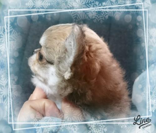 チワワ(ロング)の子犬(ID:1238011104)の3枚目の写真/更新日:2017-12-14