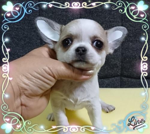 チワワ(スムース)の子犬(ID:1238011105)の2枚目の写真/更新日:2017-12-14