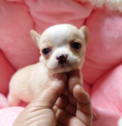 チワワ(スムース)の子犬(ID:1238011106)の2枚目の写真/更新日:2018-01-31