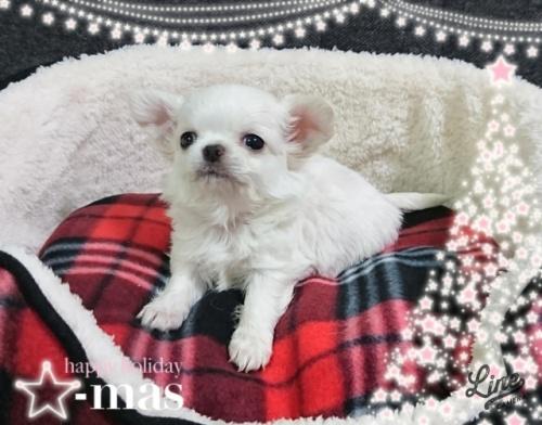 チワワ(ロング)の子犬(ID:1238011107)の1枚目の写真/更新日:2017-12-28
