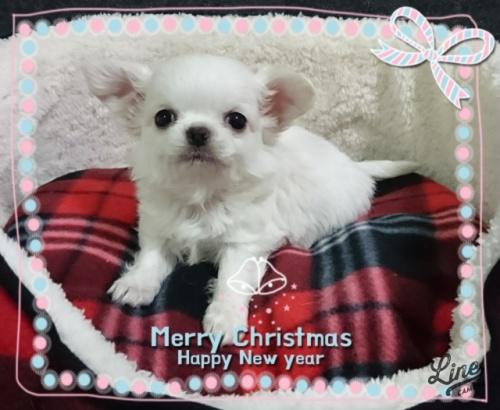 チワワ(ロング)の子犬(ID:1238011107)の2枚目の写真/更新日:2017-12-28