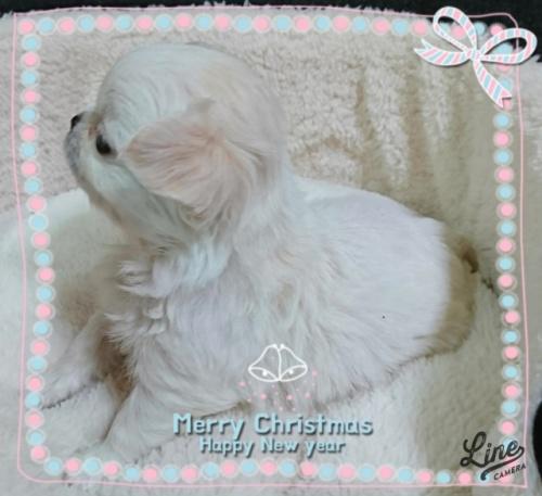 チワワ(ロング)の子犬(ID:1238011107)の3枚目の写真/更新日:2017-12-28