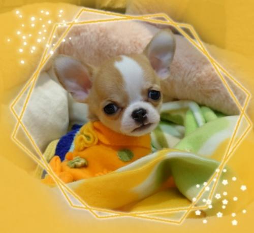 チワワ(スムース)の子犬(ID:1238011108)の3枚目の写真/更新日:2018-01-12