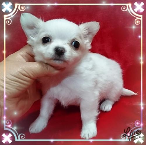 チワワ(ロング)の子犬(ID:1238011109)の1枚目の写真/更新日:2018-01-09