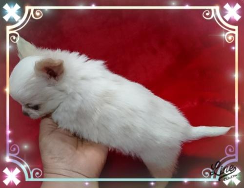 チワワ(ロング)の子犬(ID:1238011109)の3枚目の写真/更新日:2018-01-09