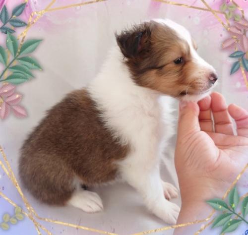 シェットランドシープドッグの子犬(ID:1238011110)の2枚目の写真/更新日:2018-02-05