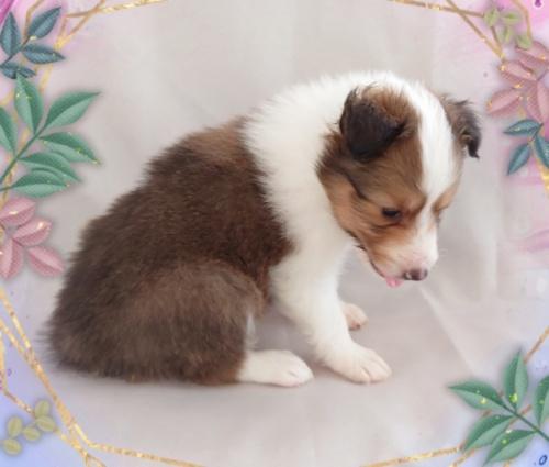 シェットランドシープドッグの子犬(ID:1238011110)の3枚目の写真/更新日:2018-02-05