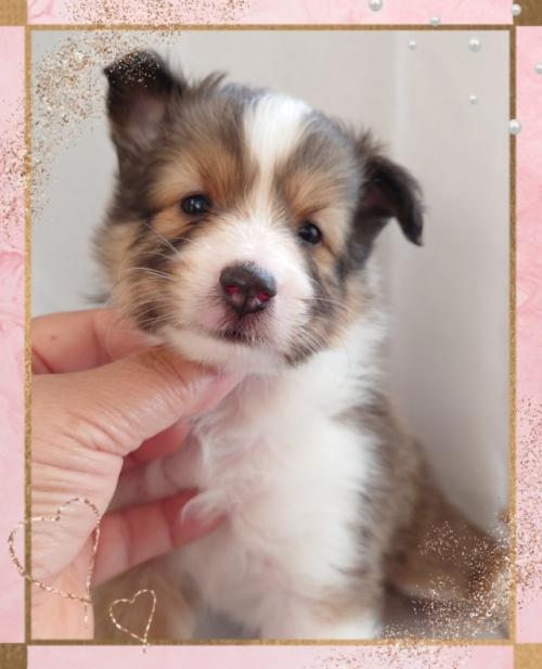 シェットランドシープドッグの子犬(ID:1238011113)の1枚目の写真/更新日:2020-04-08
