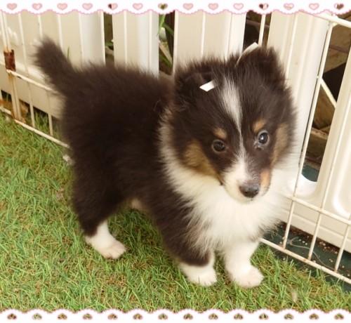シェットランドシープドッグの子犬(ID:1238011117)の3枚目の写真/更新日:2018-04-19
