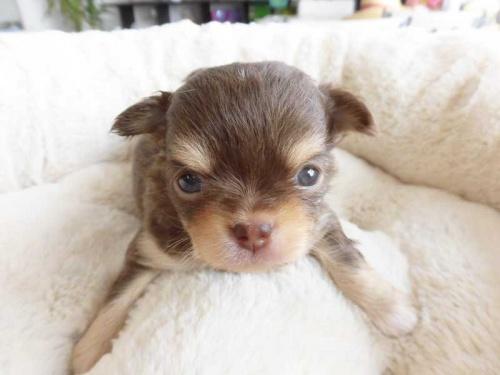 チワワ(ロング)の子犬(ID:1238511001)の1枚目の写真/更新日:2018-07-30