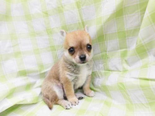 チワワ(スムース)の子犬(ID:1238511002)の1枚目の写真/更新日:2018-08-19
