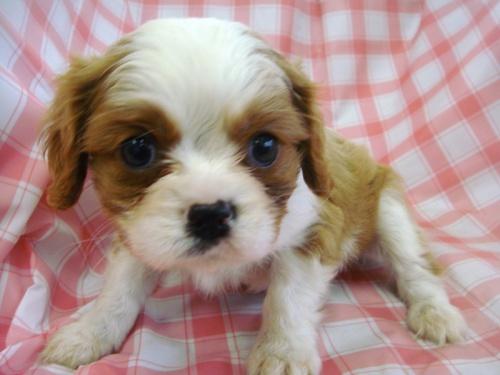 キャバリアの子犬(ID:1238511003)の1枚目の写真/更新日:2014-06-13