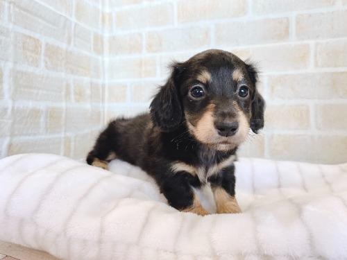 ミニチュアダックスフンド(ロング)の子犬(ID:1238511007)の1枚目の写真/更新日:2019-03-14
