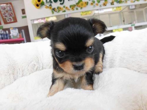 チワワ(ロング)の子犬(ID:1238511015)の1枚目の写真/更新日:2018-07-30