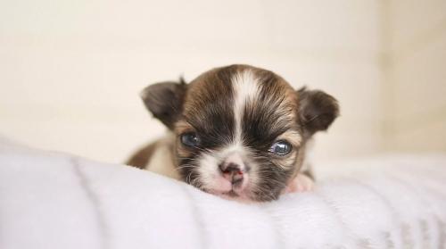 チワワ(ロング)の子犬(ID:1238511016)の1枚目の写真/更新日:2018-07-10