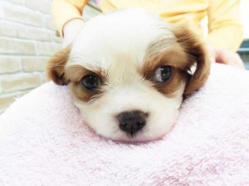 キャバリアの子犬(ID:1238511023)の1枚目の写真/更新日:2018-07-10