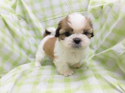 シーズーの子犬(ID:1238511032)の1枚目の写真/更新日:2018-08-10