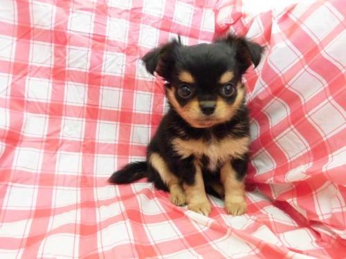 チワワ(ロング)の子犬(ID:1238511034)の1枚目の写真/更新日:2018-08-27