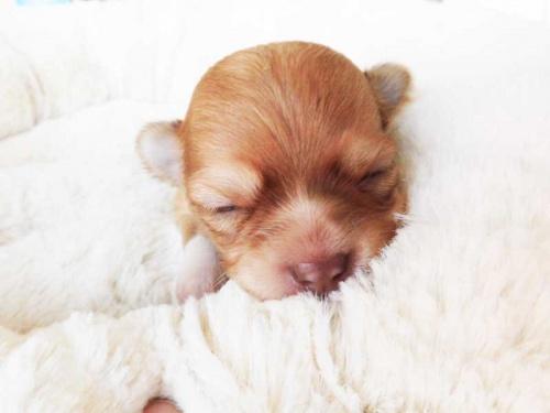 チワワ(ロング)の子犬(ID:1238511035)の1枚目の写真/更新日:2018-10-12
