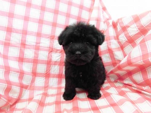 ミニチュアシュナウザーの子犬(ID:1238511038)の1枚目の写真/更新日:2019-02-18