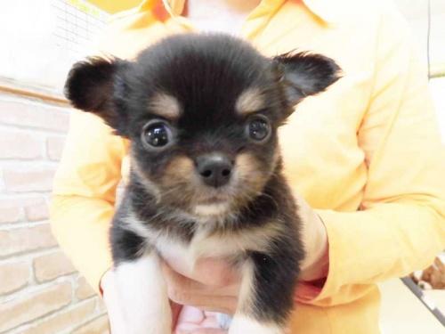 チワワ(ロング)の子犬(ID:1238511039)の1枚目の写真/更新日:2018-06-18