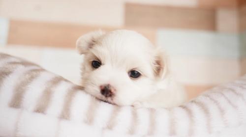 マルチーズの子犬(ID:1238511043)の1枚目の写真/更新日:2020-11-09