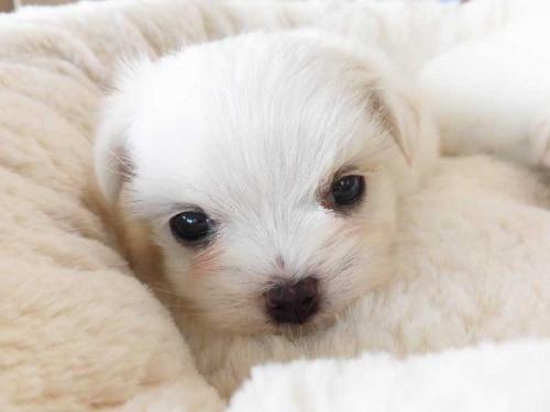 マルチーズの子犬(ID:1238511044)の1枚目の写真/更新日:2018-10-12