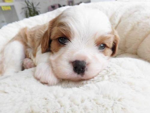キャバリアの子犬(ID:1238511047)の1枚目の写真/更新日:2018-07-30