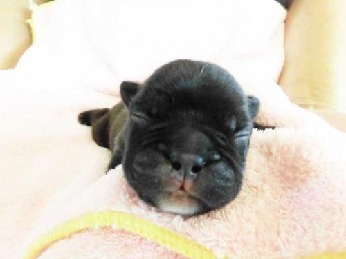 フレンチブルドッグの子犬(ID:1238511051)の1枚目の写真/更新日:2018-07-10