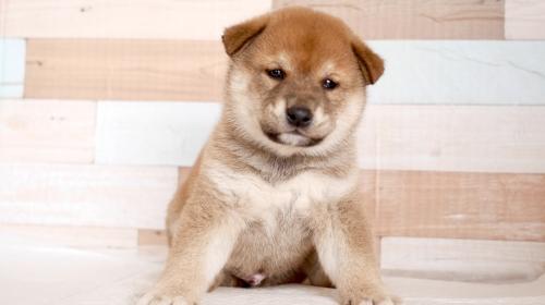 柴犬の子犬(ID:1238511059)の1枚目の写真/更新日:2020-09-23