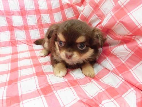 チワワ(ロング)の子犬(ID:1238511080)の1枚目の写真/更新日:2018-11-25