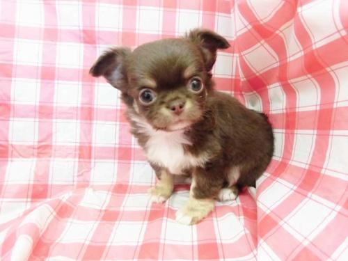 チワワ(ロング)の子犬(ID:1238511086)の1枚目の写真/更新日:2019-04-05