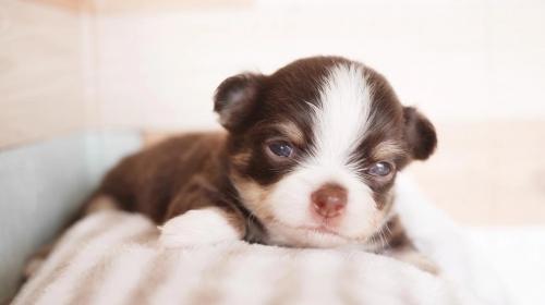 チワワ(ロング)の子犬(ID:1238511087)の1枚目の写真/更新日:2019-04-05