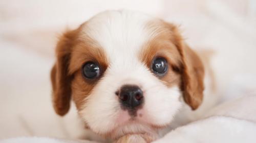 キャバリアの子犬(ID:1238511089)の1枚目の写真/更新日:2020-08-21