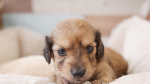 ミニチュアダックスフンド(ロング)の子犬(ID:1238511091)の1枚目の写真/更新日:2020-01-05