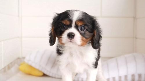 キャバリアの子犬(ID:1238511099)の1枚目の写真/更新日:2021-05-14
