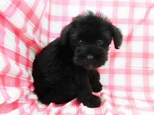 ミニチュアシュナウザーの子犬(ID:1238511101)の1枚目の写真/更新日:2019-06-04