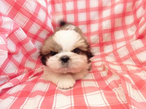 シーズーの子犬(ID:1238511102)の1枚目の写真/更新日:2019-01-27