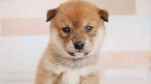 柴犬の子犬(ID:1238511113)の1枚目の写真/更新日:2020-09-23