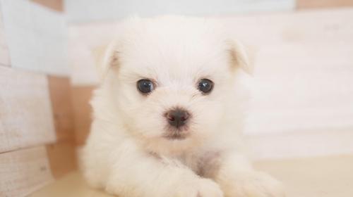 マルチーズの子犬(ID:1238511118)の1枚目の写真/更新日:2019-09-30