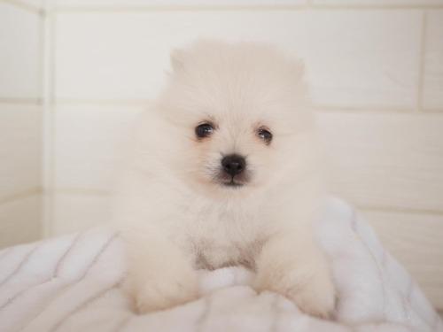 ポメラニアンの子犬(ID:1238511119)の1枚目の写真/更新日:2018-06-18