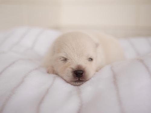 ポメラニアンの子犬(ID:1238511119)の2枚目の写真/更新日:2021-07-29