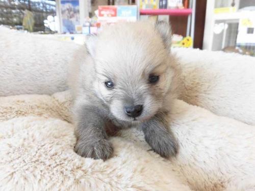 ポメラニアンの子犬(ID:1238511120)の1枚目の写真/更新日:2019-01-29