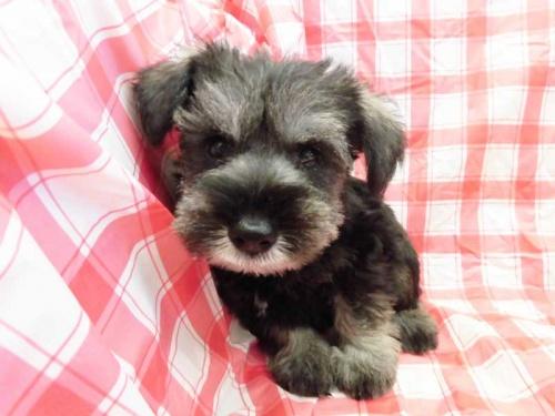 ミニチュアシュナウザーの子犬(ID:1238511124)の1枚目の写真/更新日:2018-08-06
